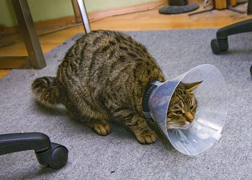 Когда коту после операции можно лизать