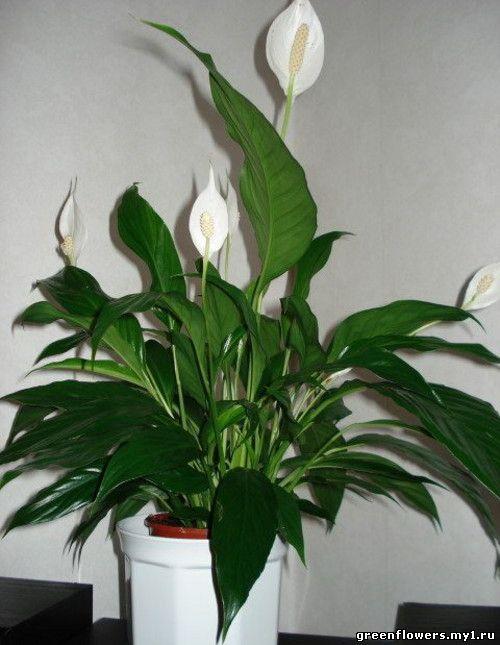 комнатные растения мужегоны