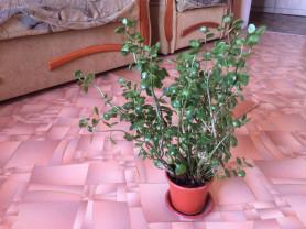 Комнатное растения цветущая малиновыми цветками