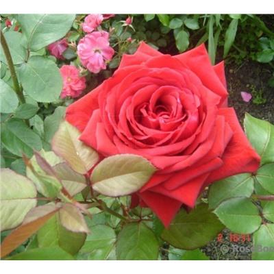 Роза чайно-гибридная Red Berlin 1 шт.