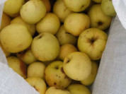 Яблоки Антоновка дачные
