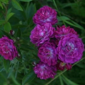 Плетистая Perennial Blue