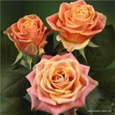 Роза чайно-гибридная Maracuya 1 шт.
