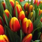 Тюльпаны, 20 шт.