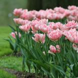тюльпан Angélique