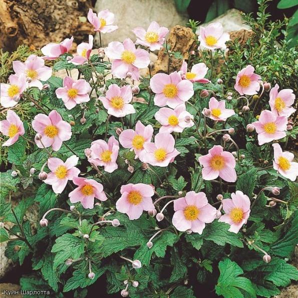 Цветы для севера фото описание