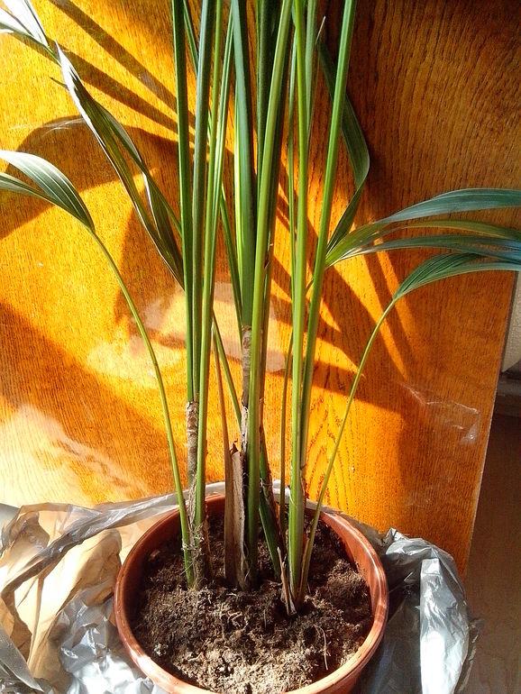 Уход за пальмой в домашних условиях пересадка 104