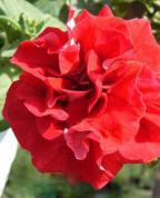 нежная розовая махровая ампельная петуния.  7 грн/шт.  Petunia Double Pink.