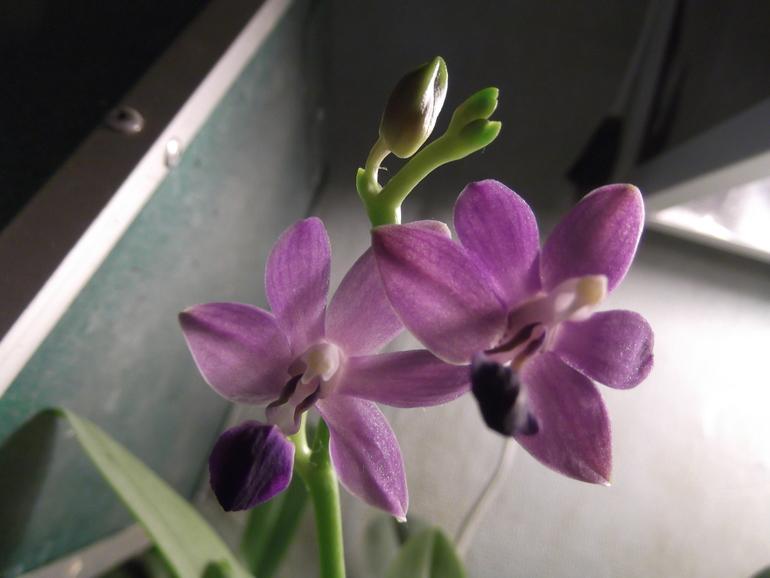 Продаются орхидеи - от 300 руб.