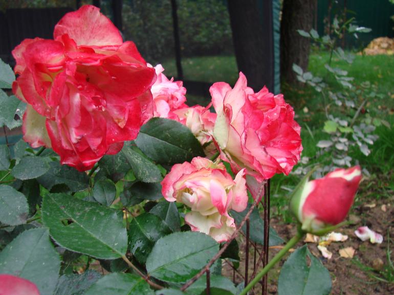 Цветы открытого грунта фото