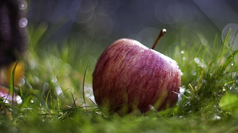 Не тряси зеленую яблоню —