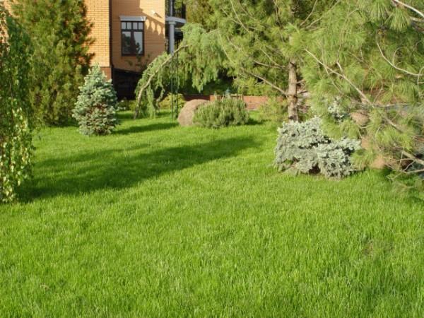 Посевной  или  рулонный  газон  -  что  посоветуете?
