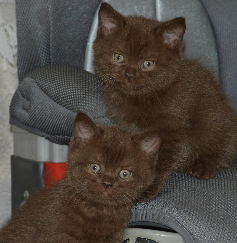 Шоколадные котята фото