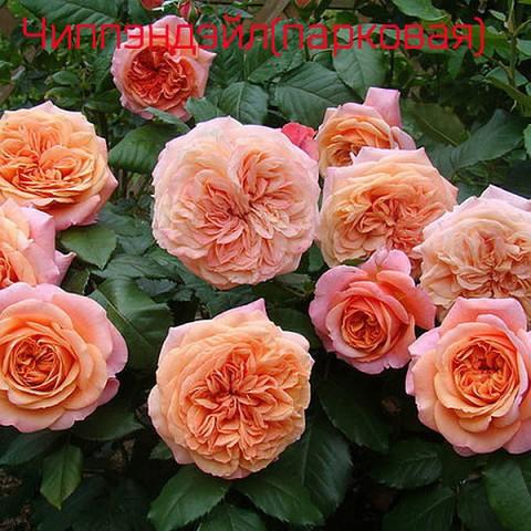 Саженцы сортовых роз из питомника