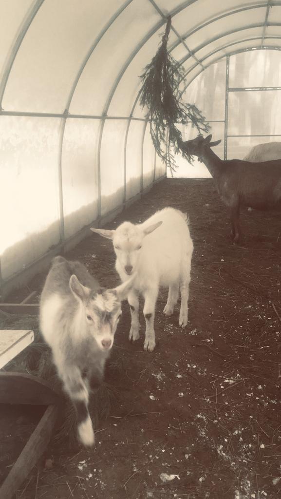 Козы, козочки, козел производитель