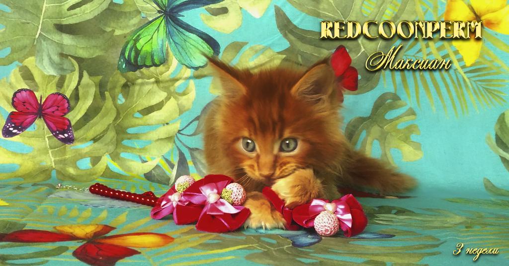 Котёнок мейн кун красный. Шоу класс. Питомник Редк