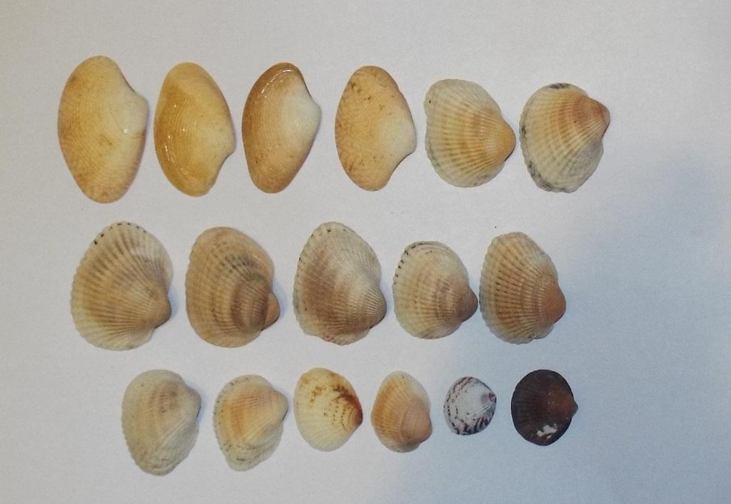 Морская раковина, ракушка песчаная 17 шт.
