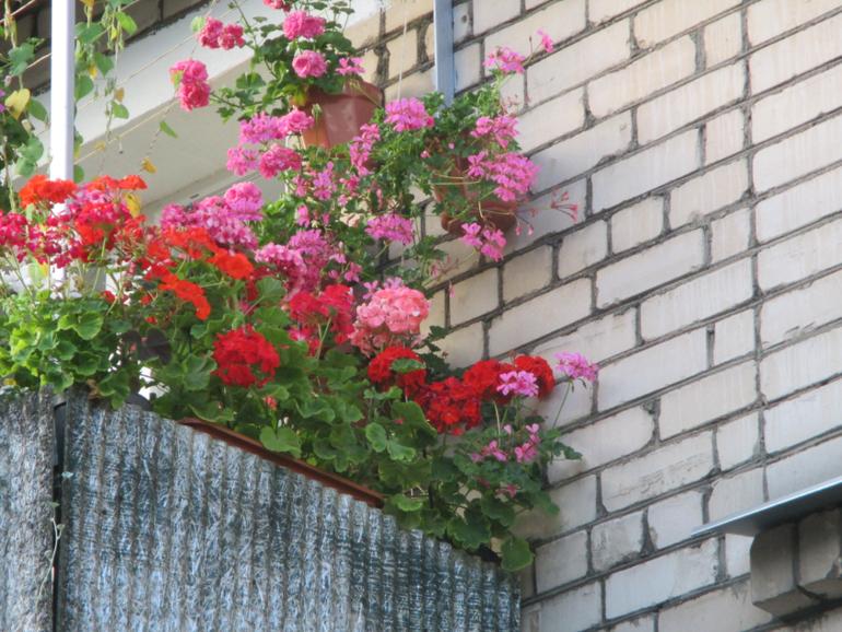 Мой балкон и клумбы ,цветение в августе - запись пользовател.