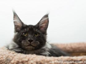 Котята Мейн- Куна