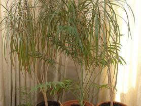 Две драцены и две пальмы