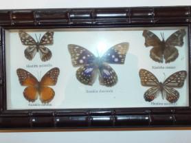 Бабочки в рамке под стеклом энтомологам