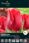 тюльпан ранний Руби Принц (15)