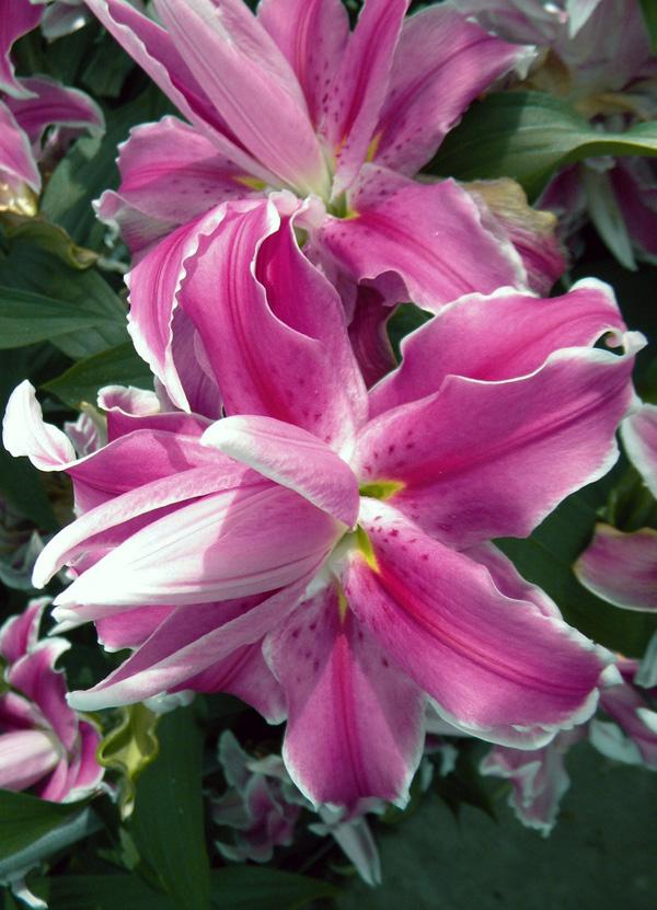 Лилия восточная Lilac Cloud (double)