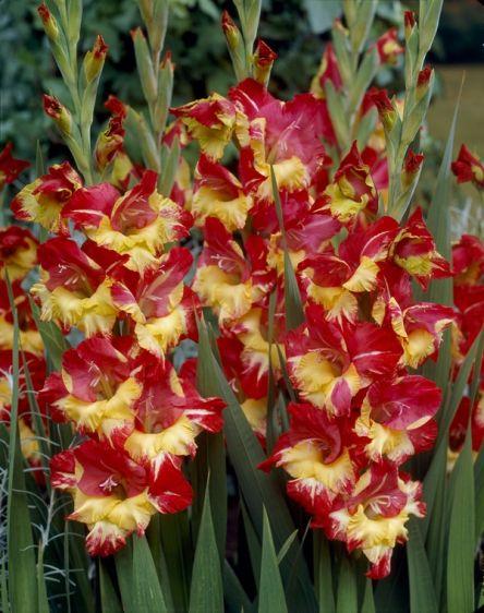 Гладиолус крупноцветковый Стерео